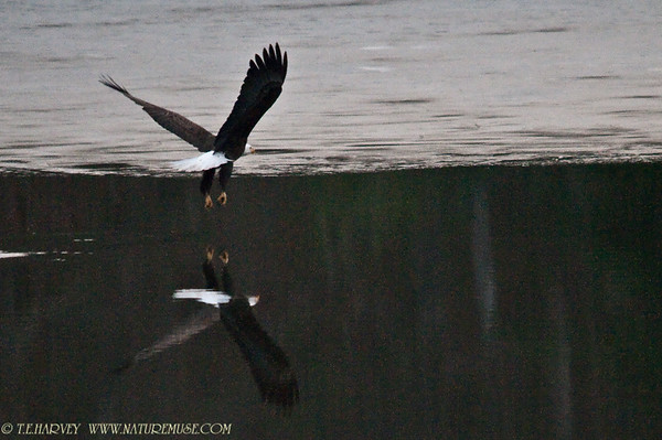 Eagle Flight At Dusk