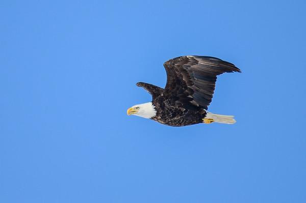 3 2013 Mar 8 Bald Eagle