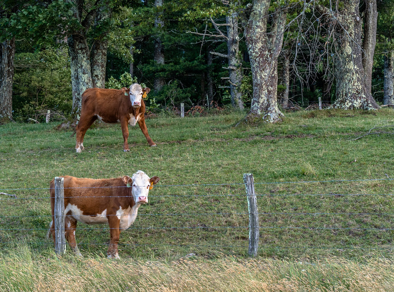 11 Jun 13 2019 BRPW Mt Jefferson vista area cattle-1.jpg
