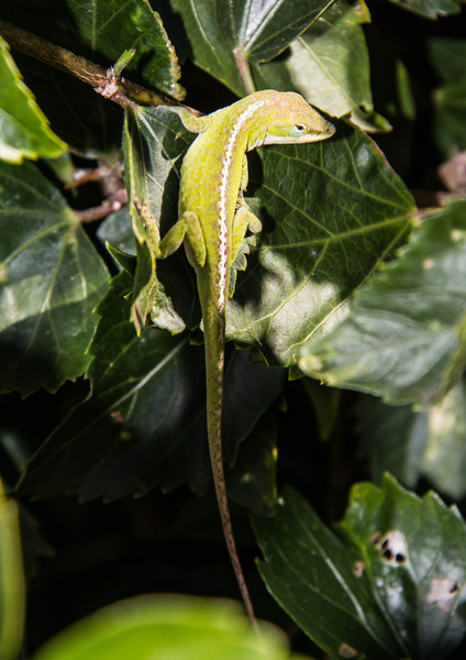 Green Anoles are not native to Hawai'i. Maui has 17 species of reptiles, none of them native.