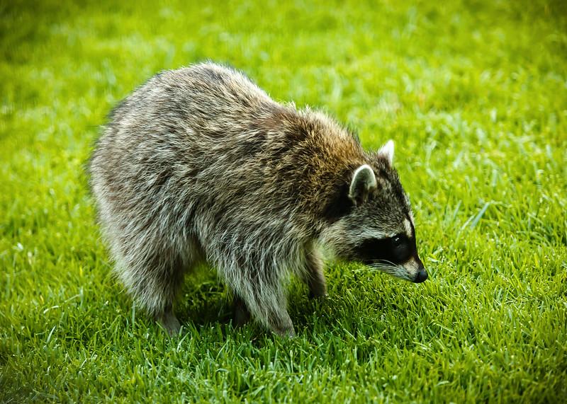 2020: Raccoons vs Yard Enforcer