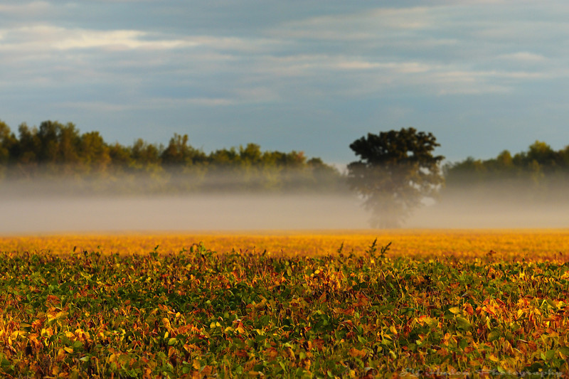 These little patches of fog make the drive so relaxing in the morning. The soy field are also looking great. Cheers - JY