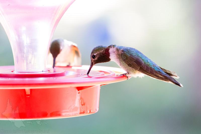 Hummingbirds-5641.JPG