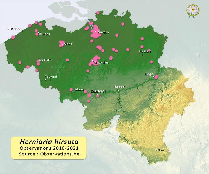 Herniaria hirsuta Belgique.jpg