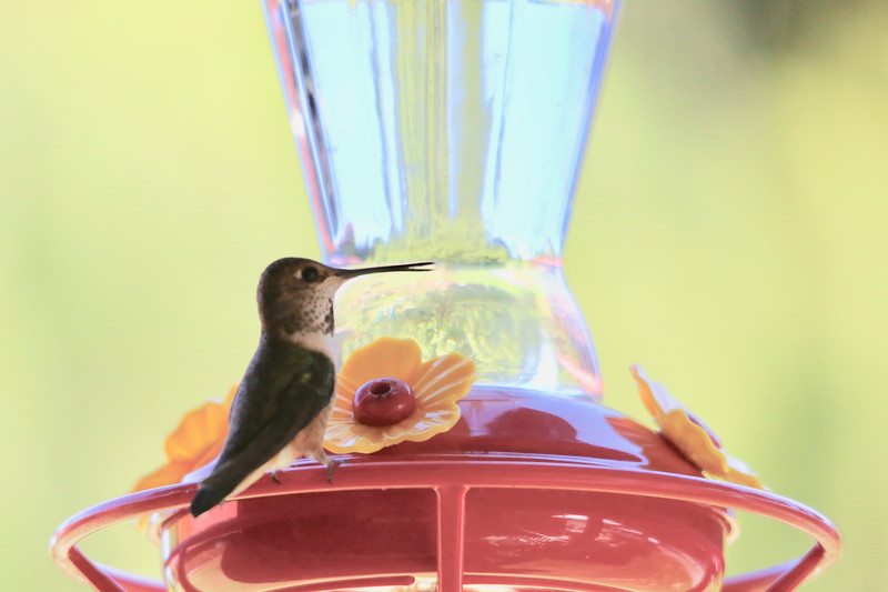 humming bird (27 of 55).jpg