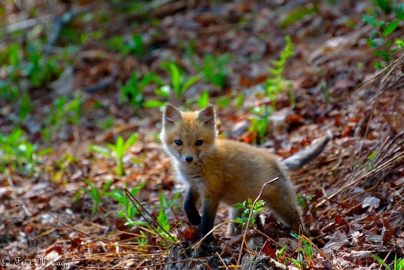 orig lil fox.jpg