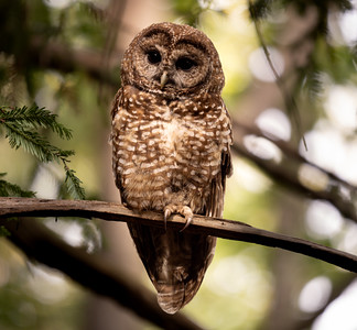 Spotted Owls in Marin 2021 June