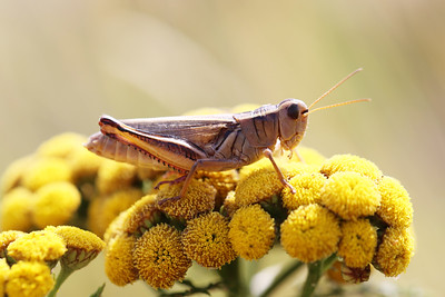 Grasshoppers, Katydids, Crickets (Orthoptera)