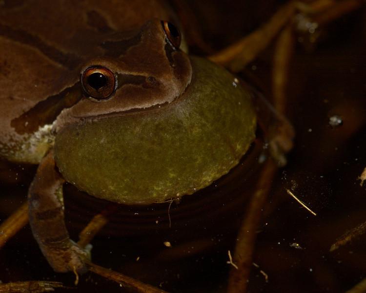Pacific Treefrog croaking.