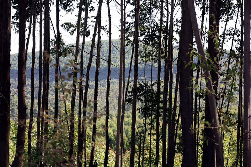 An eucalptus Forest in Swaziland.