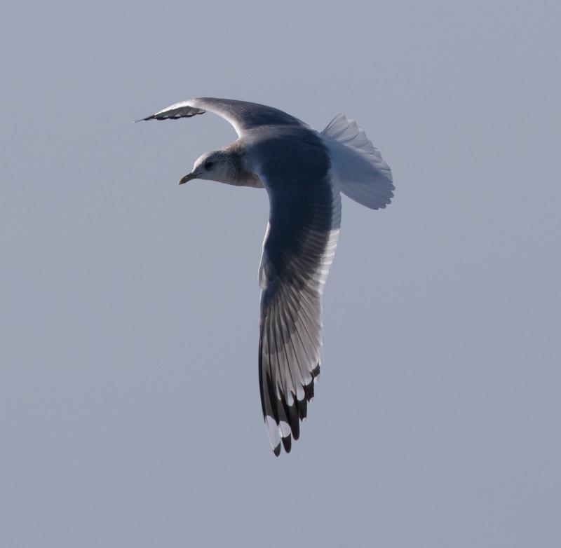 Mew Gull San Diego Waters 2017 01 01-1.CR2