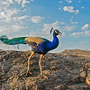 Indian peafowl or Pavo cristatus in the jungles of Ranthambhore national park