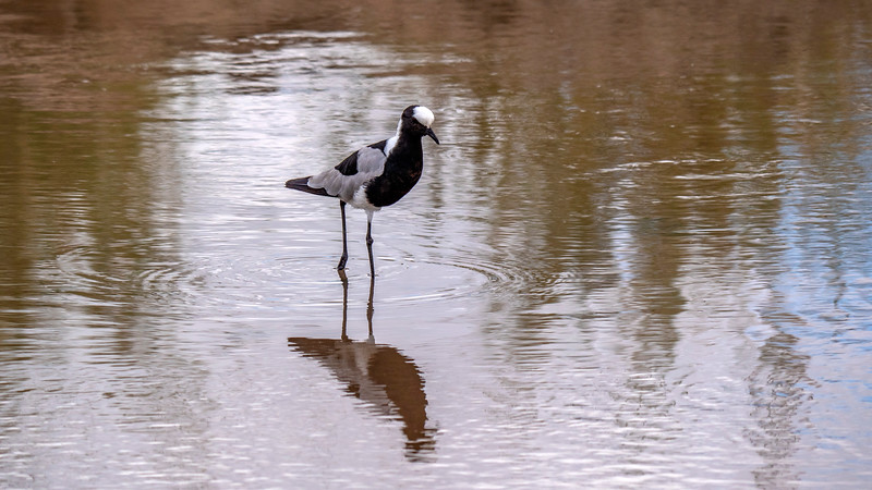 Tanzania-Tarangire-National-Park-Safari-Blacksmith-Lapwing-01.jpg