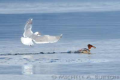 merganser and gull_2013
