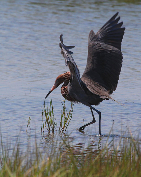 Reddish Egret dances in its feeding ritual.