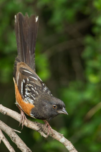 Spotted Towhee - Weslaco, TX, USA