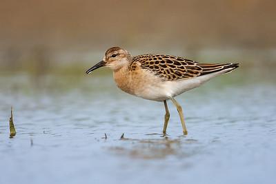 Wading/Shorebirds
