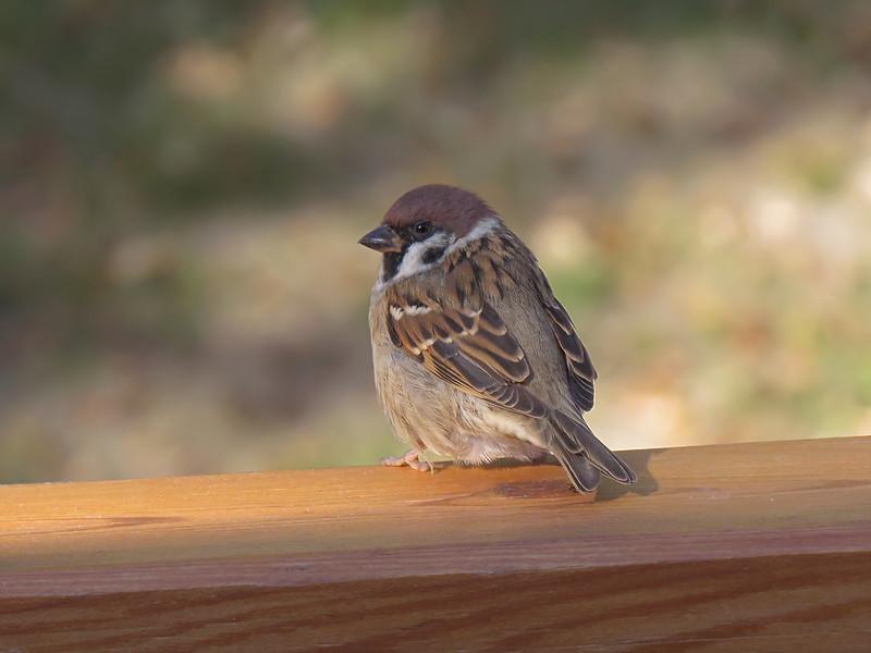 sx50_eurasian_tree_sparrow_409.jpg