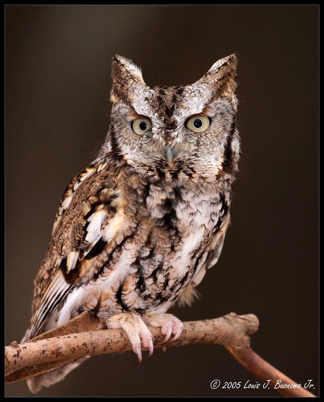 Eastern Screech-Owl - Otus asio  Quogue Wildlife Refuge - Winter 2005