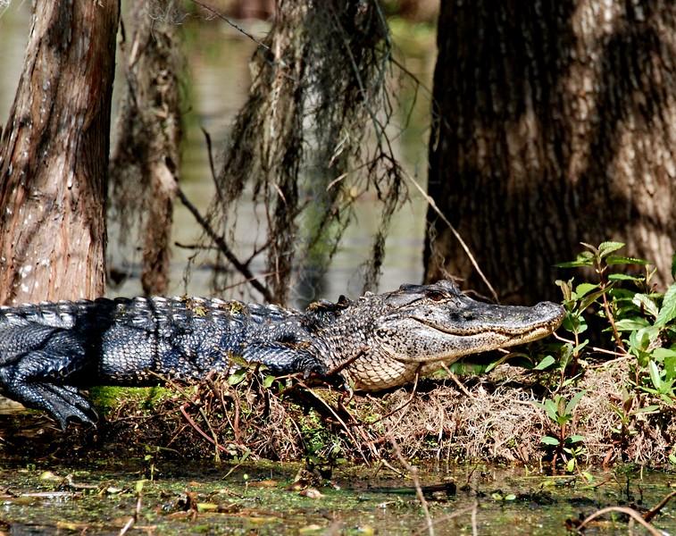 Small Aligator out enjoying the sun