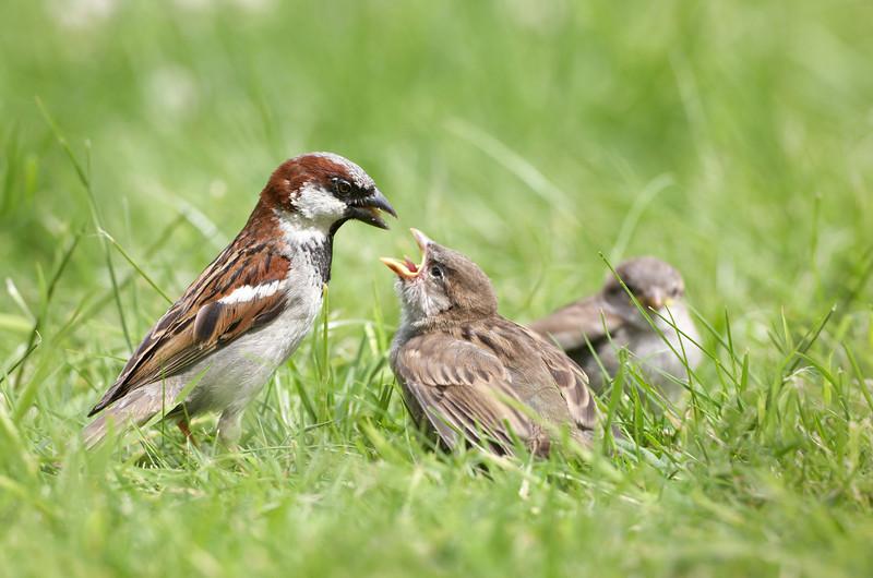 House Sparrow - 2938.jpg