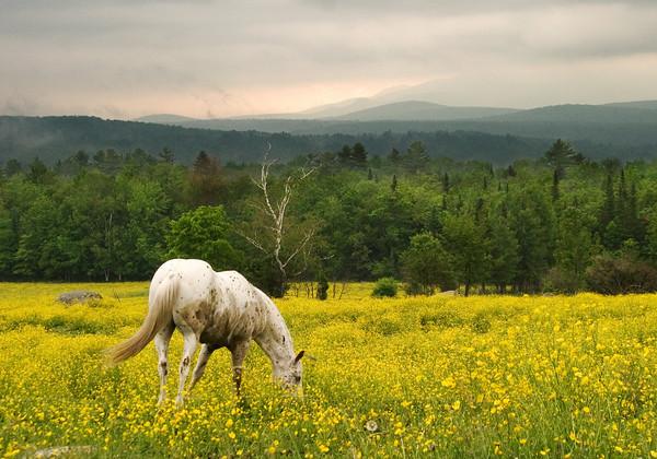 Horse Grazing in a Field of Wildflowers