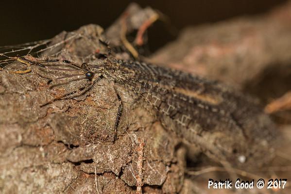 Various Neuroptera