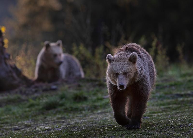 Brown bear females