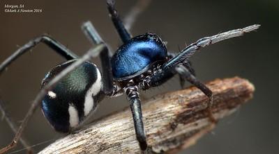 Meat ant mimics (Iridomyrmex mimics)