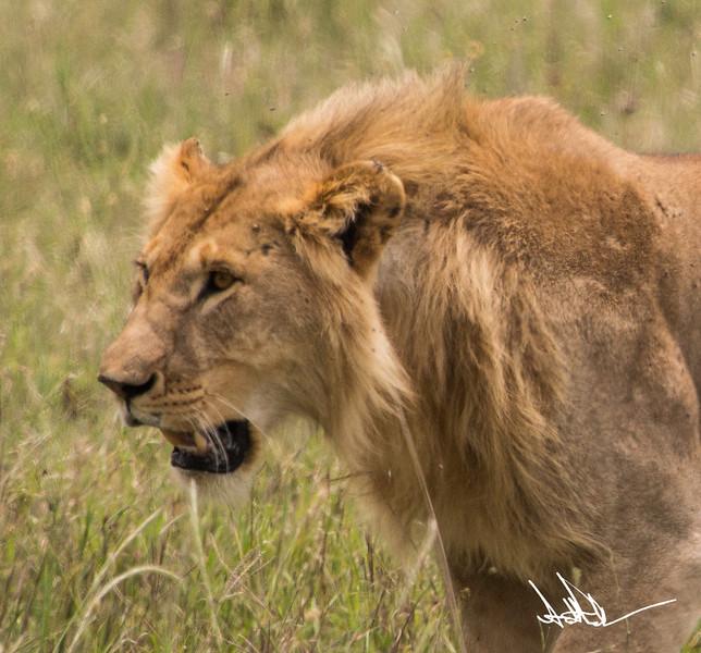 Lions Serengeti - S-7.jpg