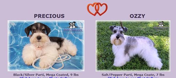 Precious & Ozzie Puppies, DOB 3/02/2021