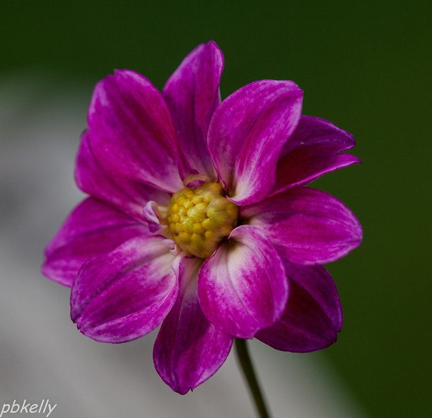 June 8.  Photographed this mini-Dahlia before I planted it.