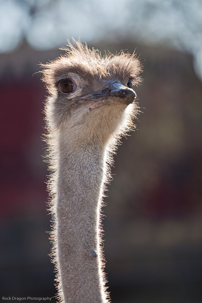 Ostrich, Calgary Zoo Nov. 1