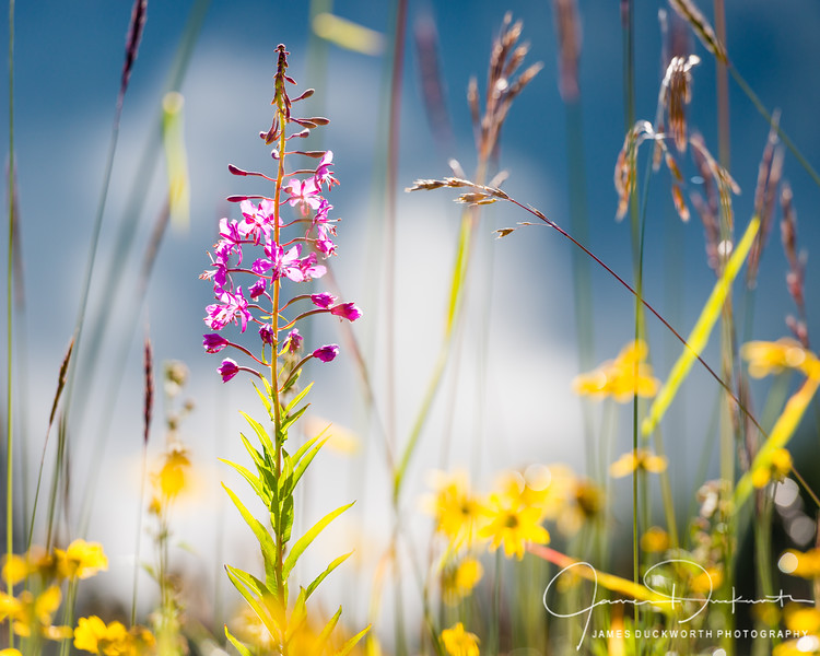 Wildflowers II, Hurricane Ridge, Olympic National Park