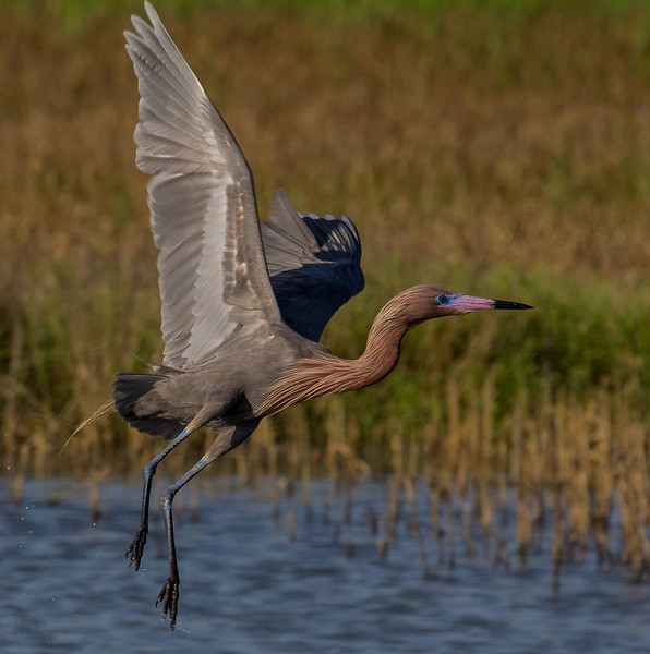 ZZReddish Egrets, Galveston, 6-7-13, 698R LTROOM, SMALL.jpg