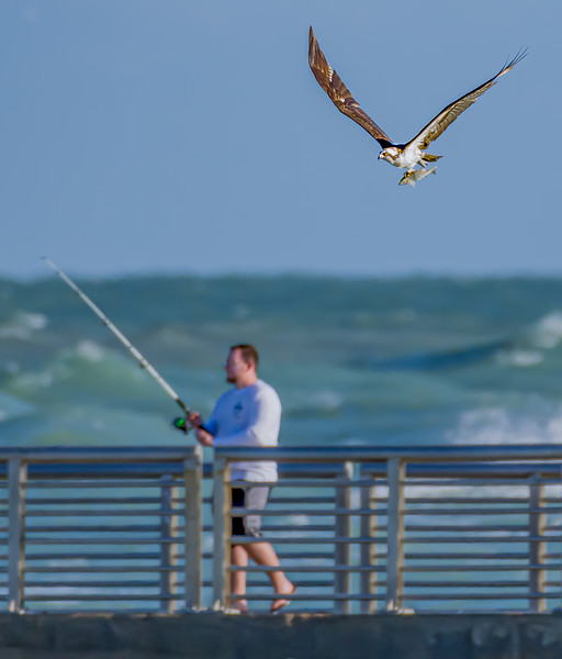 Fisherman and Successful Fishing Osprey