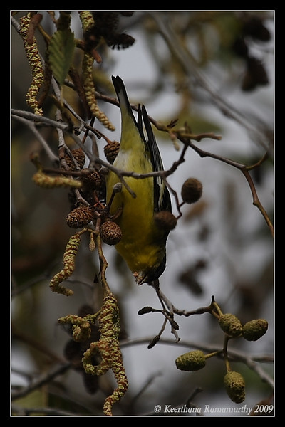 Lesser Goldfinch, Kit Carson Park, San Diego County, California, January 2009