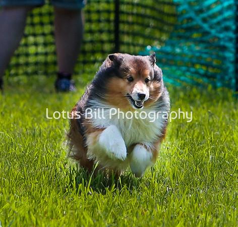 Shetland Sheepdog 2 DH2