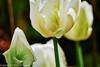 Tulpe 3-2