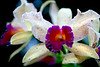Close-up of a couple beautiful and colorful orchids.