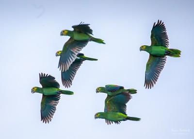 2020 Echo Bonaire Parrot Roost Count