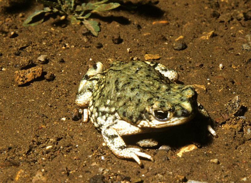 Green Toad (Bufo debilis) Big Bend Nat. Park, TX, 1958