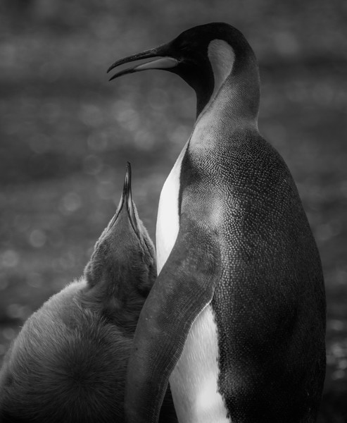 King Penguins, Volunteer Point, Falkland Islands