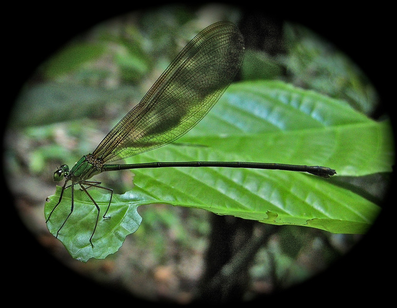 Helicopter Damselfly - Vietnam forests
