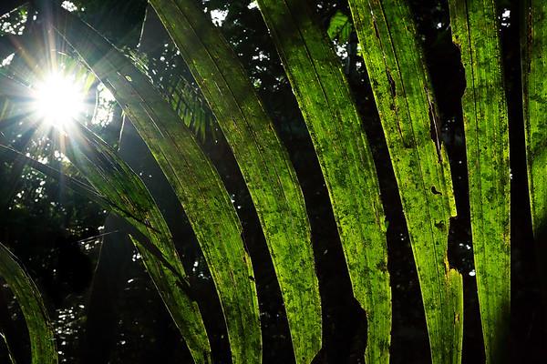 Palms (Aracaceae)