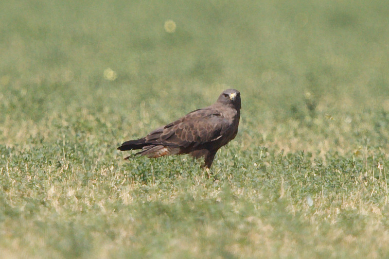 Swainson's Hawk dark morph adult (4) at Firebaugh, CA (07-18-2009)