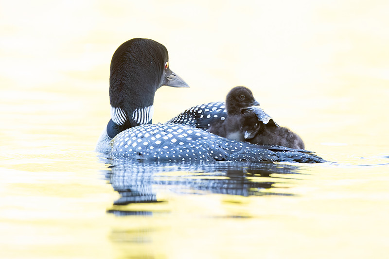 #1235 Common Loons