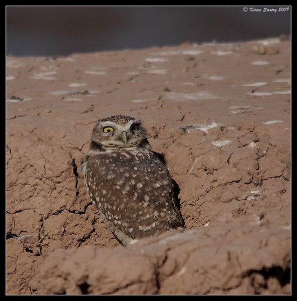 Burrowing Owl, waking with a start, by the lake on the south side of Calipatria State Prison, Salton Sea, Imperial County, California, November 2009