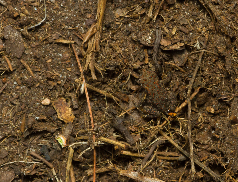 A well-camouflaged young toad from Wisconsin.