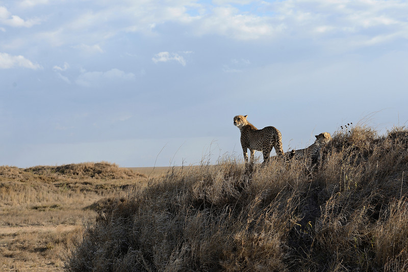 Cheetah-Vantage-Point-Color.jpg